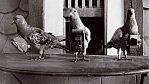 Takhle fotili holubi. Už před 104 lety