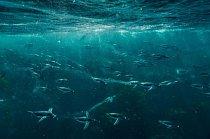 Tučňáci oslí plavou nejvyšší rychlostí zaznamenanou u ptáků – 35 km/hod. Celý den tráví lovem v oceánu, obvykle poblíž břehu Falklandských ostrovů, a snaží se, aby je samé neulovili lachtani jihoameričtí, lachtani plaví či kosatky dravé.