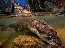 Samice pátrá po kořisti v řece v západní Anglii. Pod vodou má vydra oči vypouklejší, aby lépe viděla ryby.