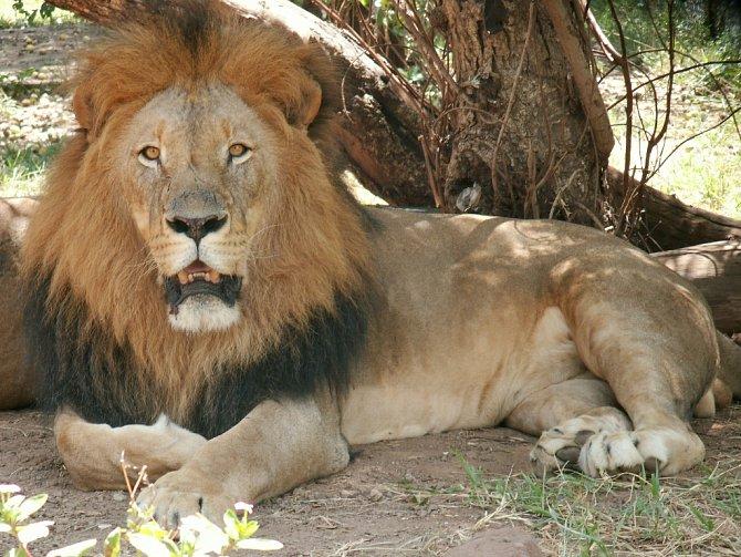 Lev je králem zvířat. Jde zněj strach a rozhodně je oprávněný.