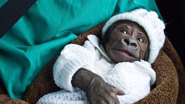 Gorila Tano je sameček. Potvrdily to konečně i genetické testy