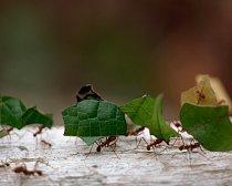 Mravenci si nesou potravu do svého domova.