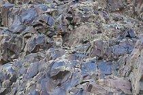 Irbis neboli levhart sněžný na lovu v národním parku Hemis na severu Indie.