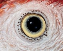 2. Čí jsou to oči? a) kakadu žlutočečelatý b) holub domácí c) ara arakanga