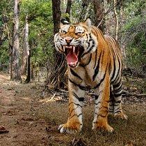 V Národním parku Bandhavgarh v indickém státu Madhjapradéš tygří samec před robotem utekl, ještě předtím však fotoaparát zachytil jeho výraz.