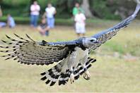 13 April 2008 - Pananma City, Panama - A Harpy eagle, Panamanian national bird, flies during an event to celebrate the seventh national bird's day at a conservation centre in the Summit Park near the
