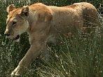 Války koček: lev versus gepard