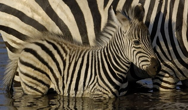 Proč jsou zebry pruhované? Je to zbraň proti ovádům