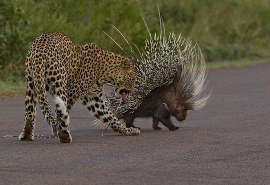 Dikobraz versus levhart nebo lví smečka. Hádejte, kdo vyhraje?