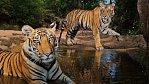 Exkluzivně pro National Geographic: Pláč pro tygra