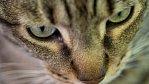 Kočky mají jen omezenou inteligenci. Dokazuje to výzkum