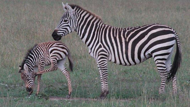 Pruhované komando. Zebry očima Dany Holečkové, ředitelky Zoo Dvůr Králové
