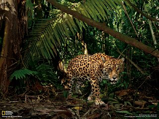 Jaguár (Národní park Yasuní, Ekvádor)