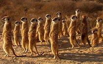 Podvedené surikaty