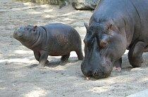 V roce 2011 se Slávkovi s Maruškou narodil Váleček, který je dnes doma v zoo ve Vratislavi.
