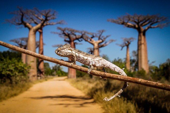 Domorodé kmeny uměly kdysi zpracovat baobaby od kořenů po korunu.