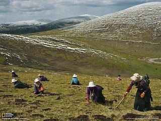Tibetská houba