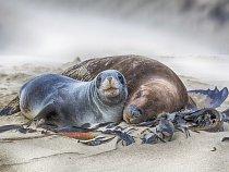 Lachtani hřívnatí (nebo také lvouni) jsou na oceánech zcela závislí - živí se rybami, korýši, hlavonožci a tučňáky.