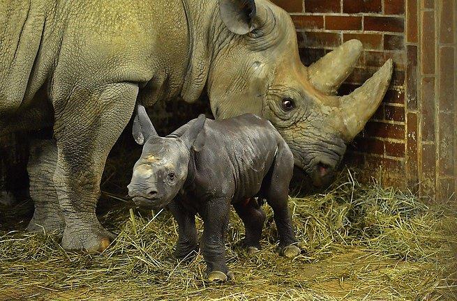 Snovým přírůstkem má nyní skupina černých nosorožců 19jedinců, což je vůbec nejvíc vhistorii zahrady.