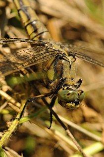 Největší druhy dosahují až 8 centimetrů