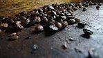 Nejdražší káva světa pochází z výkalů šelmy podobné kryse. Za hrníček dáte tisícovku