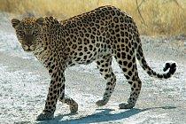 Levhart zachycený v parku Etosha v Namibii.