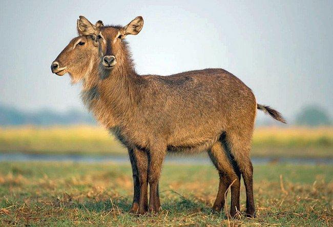 Počet nohou prozrazuje, kolik zvířat ve skutečnosti nevědomky pózuje fotografovi Travisi Joshuovi.