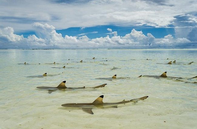 Aldabra, Seychelly: Žralok černoploutvý