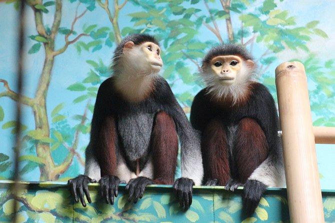 Langur duka měří v dospělosti 55-80 cm a patří mezi ohrožený druh asijských primátů.