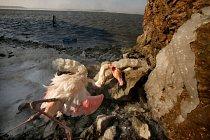 Mrtvý plameňák zůstal na pobřeží francouzského jezera (Gruissan, Francie).