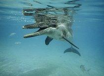 Delfín zkoumá hladinu a hledá potravu.