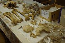 Kosterní pozůstatky jedince ženského pohlaví z archeologického naleziště u silničního obchvatu Kolína, kde byly nalezeny desítky pozůstatků pravěkých sídlišť a pohřebišť.