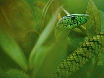 Jed hadů, jako je tato mamba Jamesonova (snímek byl pořízen v Kamerunu), by brzy mohl léčit srdeční choroby.