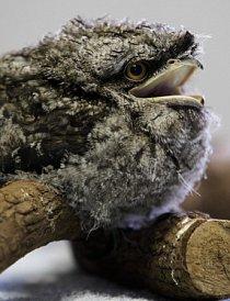 Samice snáší 2-4 vejce do miskovitého hnízda na větvi.