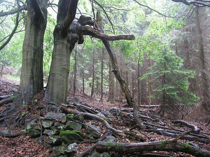 Staré buky na mezích, na místech bývalých luk