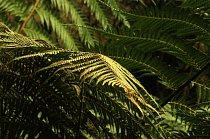 Kapradina (Dicksonia selloviana) roste v Jižní Americe.