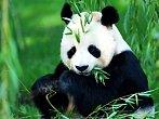 BBC: Narození pandy velké