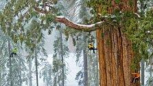 Tento sekvojovec, nazývaný Prezident, je druhým známým nejmohutnějším stromem na Zemi.