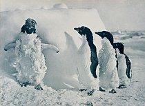 Tučňáci kroužkoví sloužili během expedice lidem i psům jako zdroj potravy. Někdy byli i zdrojem pochybné zábavy: muži se snažili nepozorovaně přikrást k tučňákům stojícím na útesu a shodit je do vody.