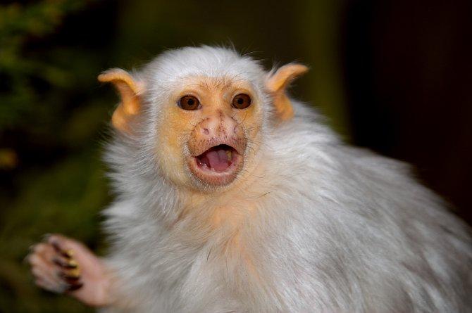 Kosmani neboli drápkaté opičky