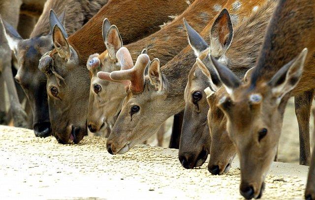 Poptávka po paroží se pokrývá jeleny pěstovanými na farmách, volně žijících zvířat se to netýká.