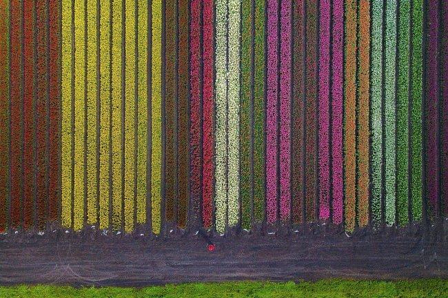 Vybrat ten nejkrásnější však není jednoduchý úkol vzhledem k tomu, že je známo přibližně 100 až 150 druhů tulipánů.