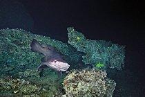 Žralok Cookeův