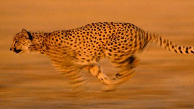 Gepard: z nuly na sto za čtyři sekundy