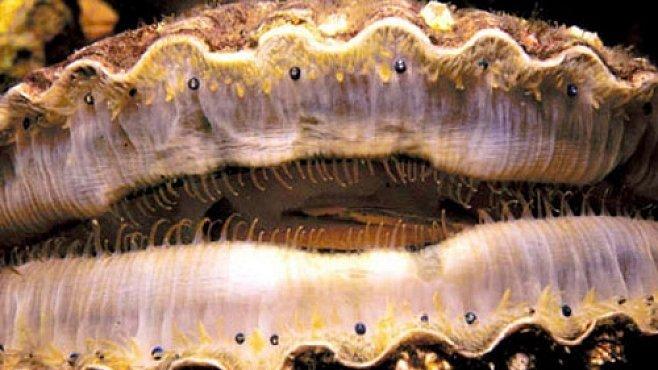 Antarktičtí měkkýši si mění pohlaví, jak je napadne