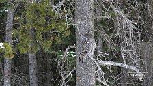 Puštík vousatý při lovu poblíž silnice u Water Valley v Mississippi.