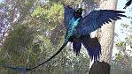 Létající dinosaurus měl na čtyřech křídlech černé měňavé peří