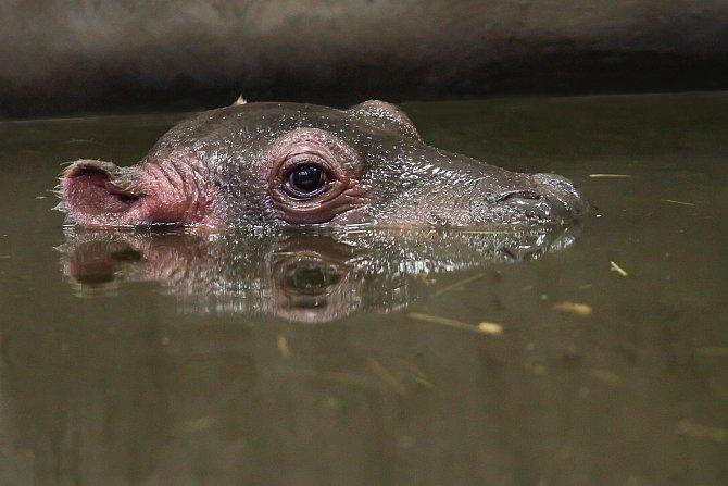 Hroši se rodí zpravidla ve vodě, kde také tráví většinu času. Mládě ve Dvoře Králové se však narodilo na souši.