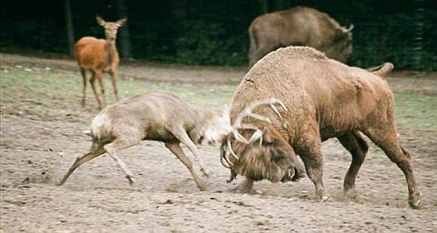 Zubr proti jelenovi