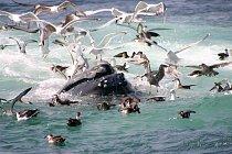 Keporkakové jsou známí svými dlouhými písněmi, kvůli kterým dostali přezdívku zpívající velryby.